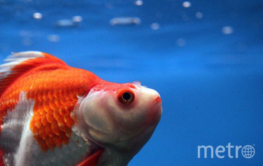 Золотая рыбка. Фото Getty