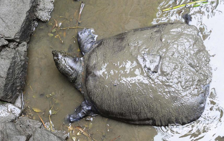 Мягкотелая черепаха Янцзы. Фото AFP
