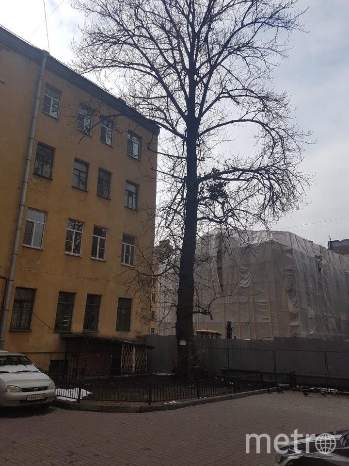 В Петербурге активисты борются за тополь на Советской улице. Фото mytndvor, vk.com