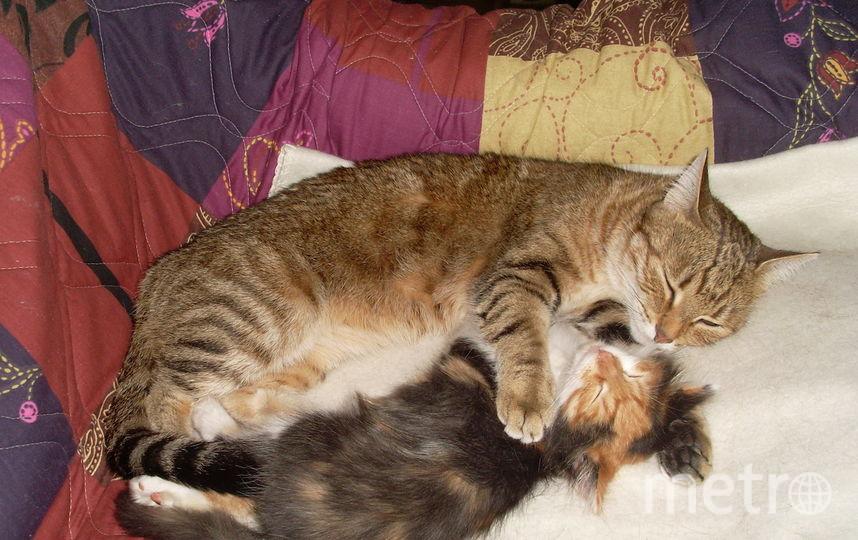 Мои девчонки Настюшка и Веснушка (полосатик и трехцветочка). Фото Наталия