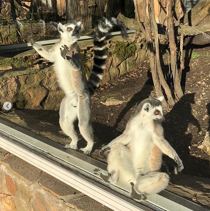 Пушистая медитация: В Ленинградском зоопарке лемуры вышли загорать. Фото Скриншот Instagram: @spbzoopark