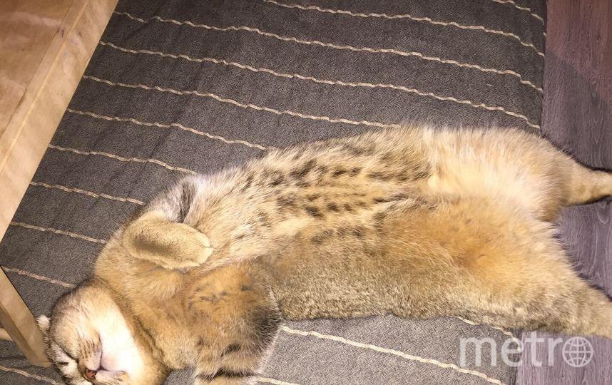 Порода Скоттиш-фолд (Шотландская вислоухая). Кот Патрик, возраст 1 год. Фото Елизавета
