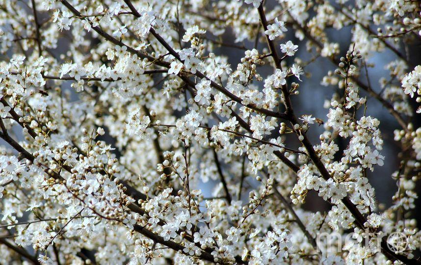 Цветение деревьев весной. Фото Pixabay