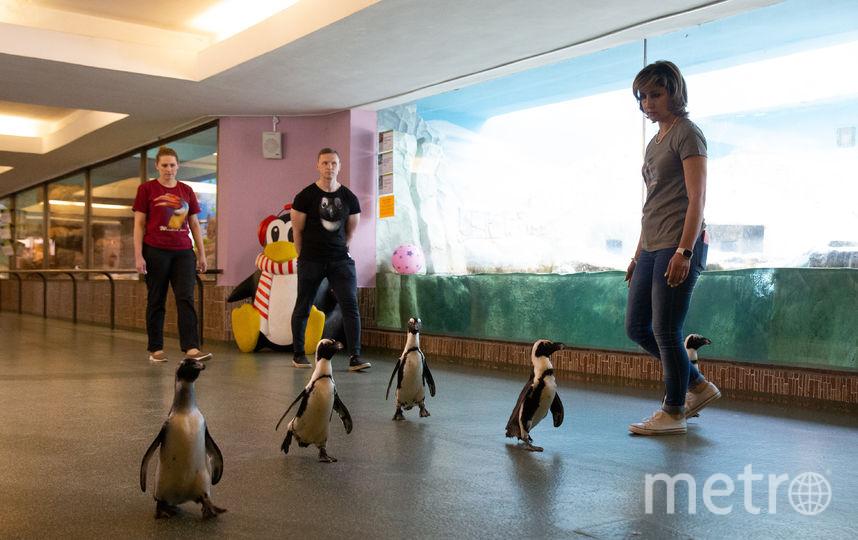 В московском зоопарке прошёл парад пингвинов. Фото Василий Кузьмичёнок