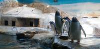 В московском зоопарке прошёл парад пингвинов