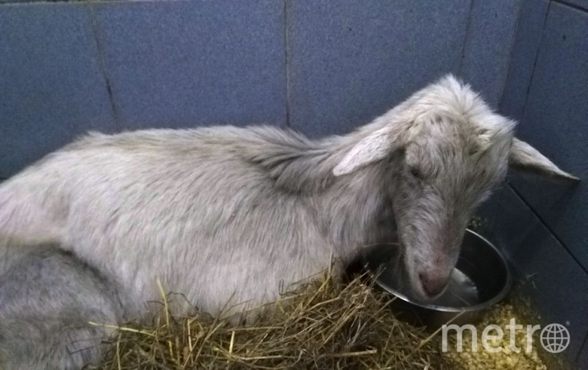 Спасенная коза. Фото veles_spb, vk.com