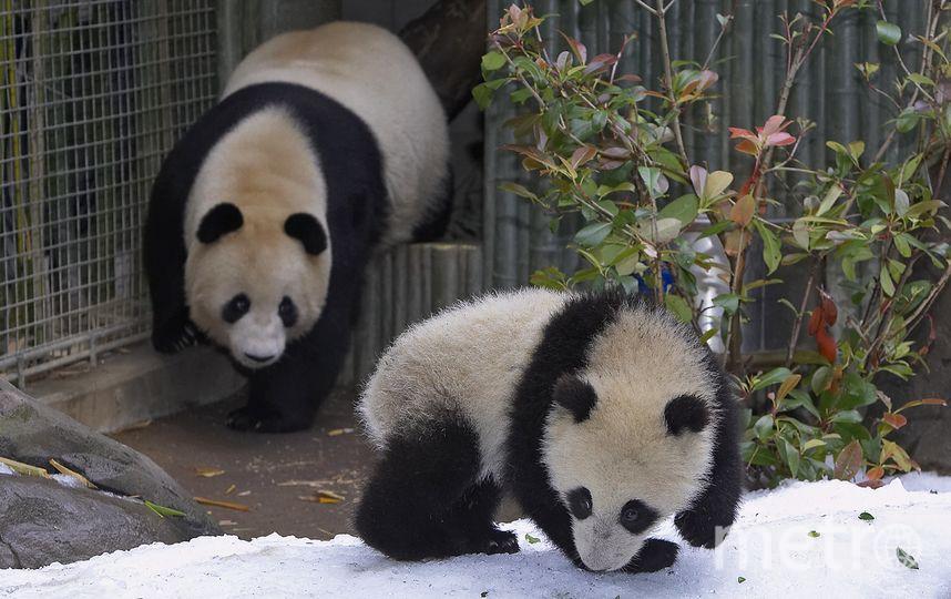 Большая панда. Фото Getty
