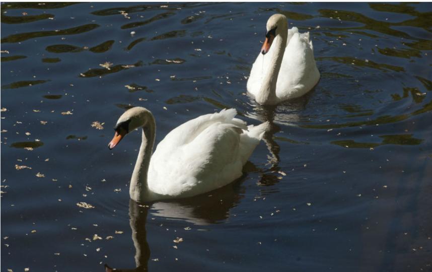 """Лебеди Летнего сада возвращаются с зимовки. Фото Святослав Акимов, """"Metro"""""""
