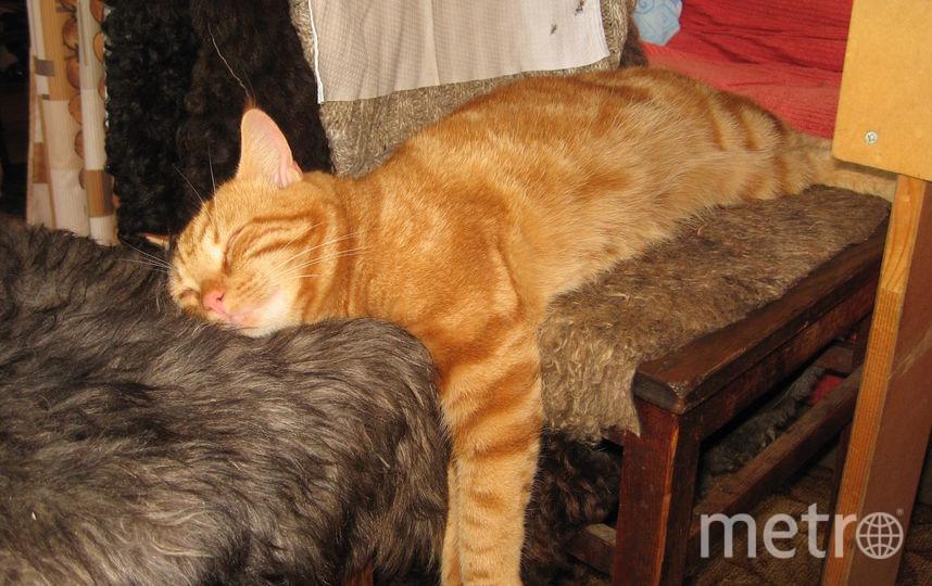 Кот Костя, спит на двух стульях. Фото Людмила