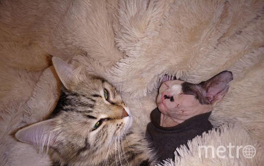 """Ася и арчи (сфинкс) наши любимые проказники, пока они спят можно тоже отдохнуть. Фото """"Metro"""""""