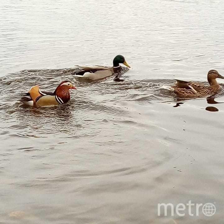 В пруду Металлостроя появилась утка из Красной книги. Фото vechmet, vk.com