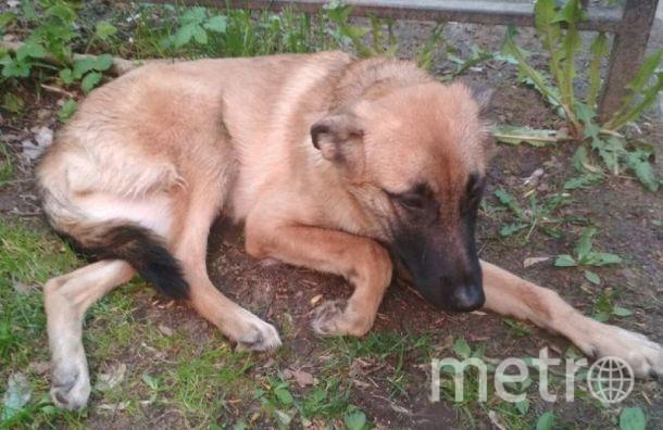 На лечение собаки, выброшенной из окна, собирают деньги. Фото https://vk.com/kolpino_cats_and_dogs