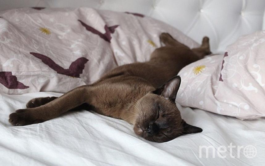 Кошка Клео. Спать она любит так: хвостик на подушке на простынке ушки. Фото Мария