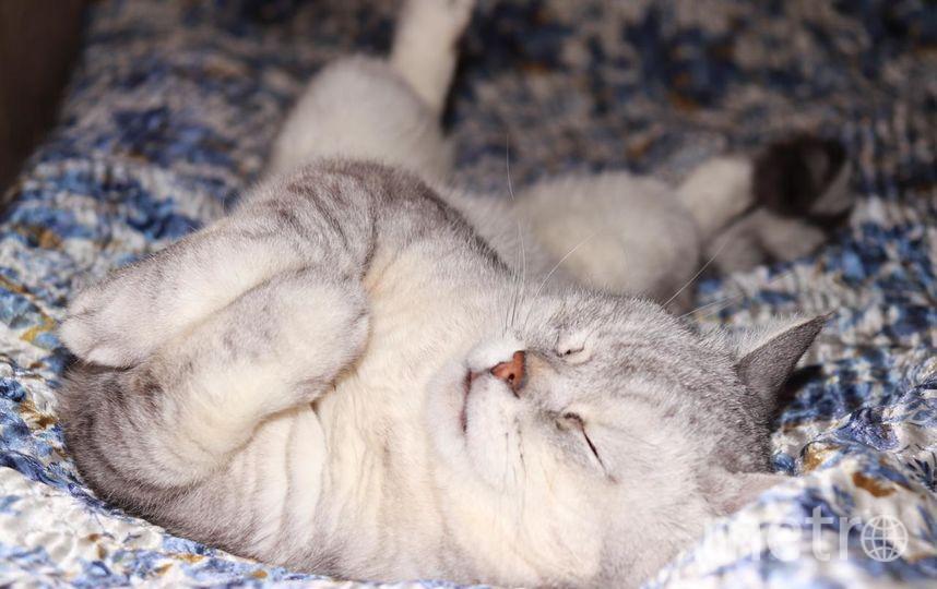 Это наш кот-британец. Его зовут Сэм. Ему 4 года. В нашей семье он любимец. К нам домой его принес мой старший сын Дмитрий, а теперь с ним с удовольствием играют трое младших детей-Маша, Варя, Коля. Фото Ирина