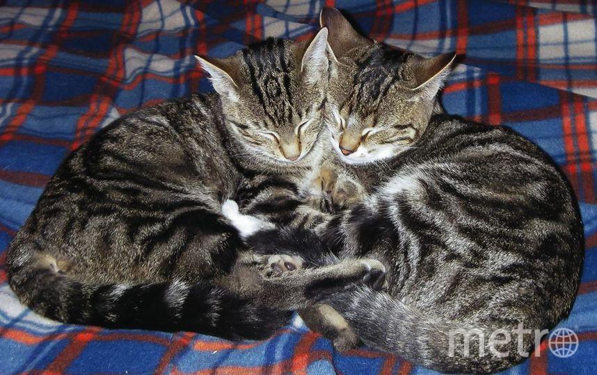 """На фото изображена наши любимицы сестренки кошечки Лиза и Умка. С уважением, Павлов Андрей . Фото """"Metro"""""""