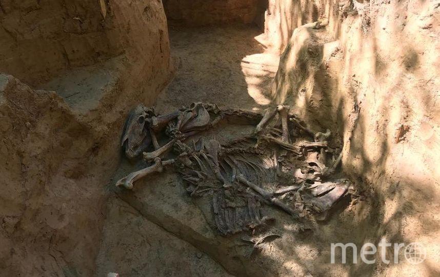 Под землёй сохранились лошадиные скелеты с ранениями от сабель и пушечных ядер. Фото предоставлено Пьером Малиновским