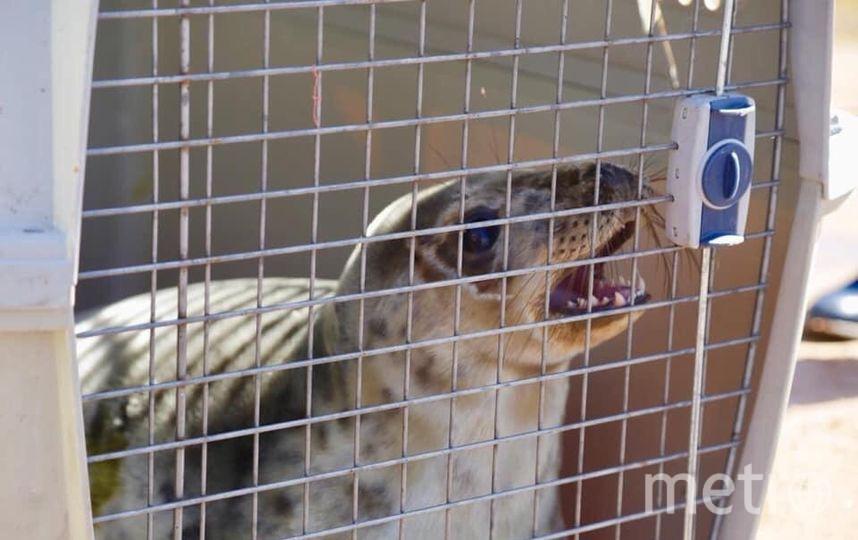 Петербургские зоологи выпустили в Финский залив серых тюленей: Фото. Фото sealrescue, vk.com