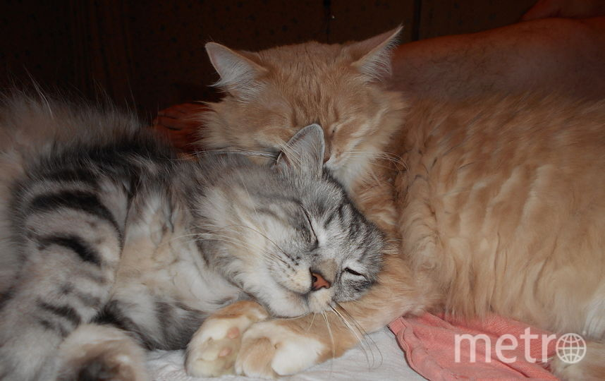 Эти два чувака- наши любимцы: Том (серый с белыми сапожками) и Джерри (розовый с белым пузиком). Общий вес- 16(!)кг. Иногда мы им завидуем: вот это жизнь! Фото Людмила