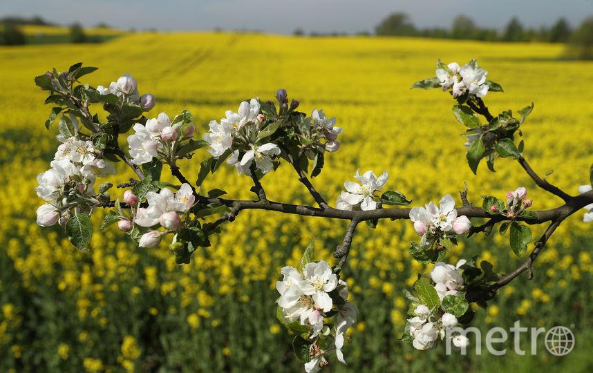 Яблоня. Фото Getty