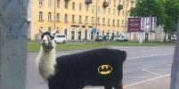 Лама в костюме Бэтмена разгуливала в Петербурге: фото