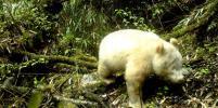 В Китае учёным удалось сфотографировать редкую панду-альбиноса