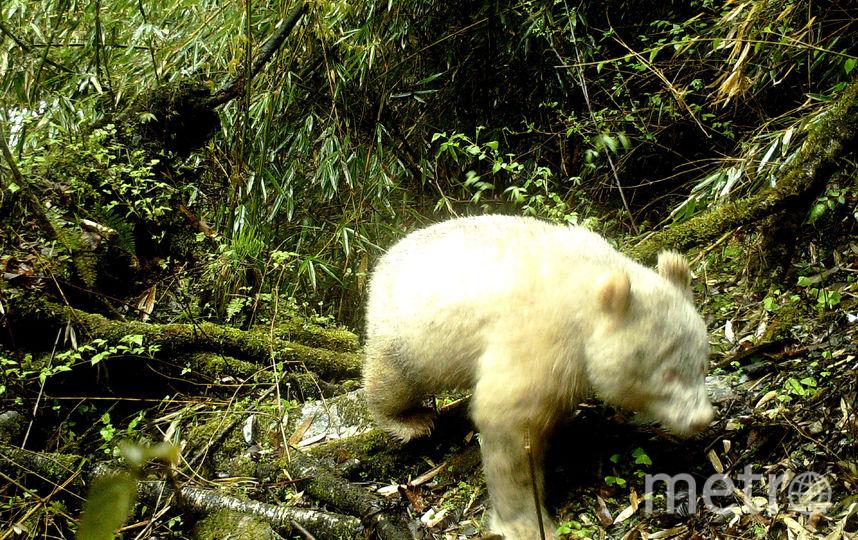 Фотография медведя была сделана при помощи инфракрасных камер. Фото AFP