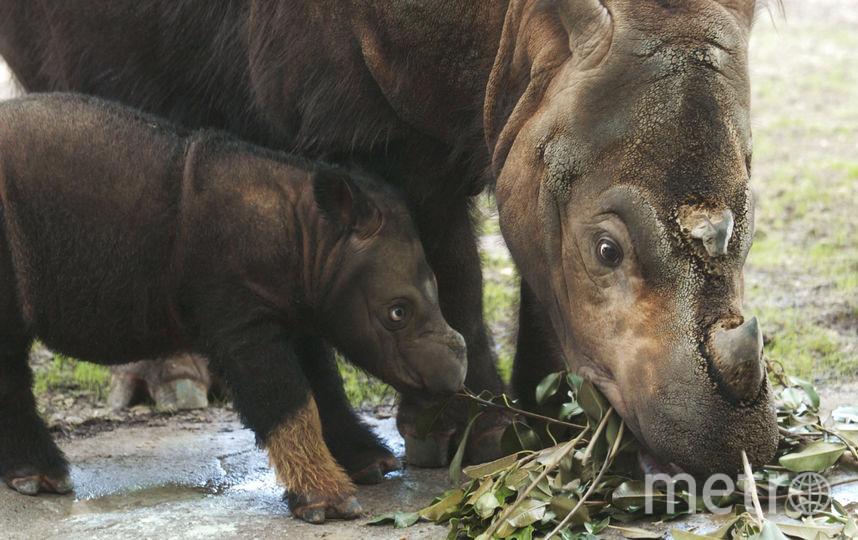 Суматранский носорог в зоопарке. Архивное фото. Фото Getty
