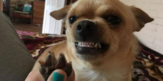 Это мой любимый пёс чихуахуа по кличке Джим ) он достаточно большой для его породы- 6,5 кг, но очень трусливый! На фото он так бурно реагирует на свою самую ненавистную фразу : «Отдай лапки»!