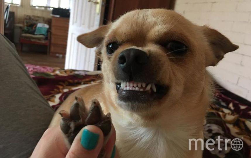 Это мой любимый пёс чихуахуа по кличке Джим ) он достаточно большой для его породы- 6,5 кг, но очень трусливый! На фото он так бурно реагирует на свою самую ненавистную фразу : «Отдай лапки»! Фото Мария