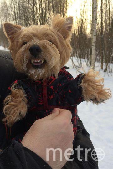 """На фото наш милый золотистый Йорк Плюша с характером собаки Баскервилей. Своим оскалом держит в страхе весь Приморский район). Фото Диана Рощина, """"Metro"""""""