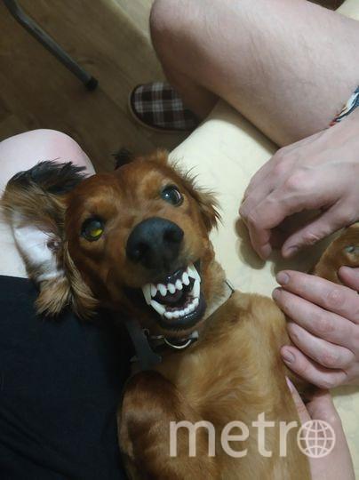 """Мой любимец- пёс породы такса по кличке Филимон. Нам 5 лет, но за это время успел пережить предательство своих хозяев. Вот уже как 2,5 года живёт в новом доме. """"Изюминка"""" этого красавчика- жуткая голливудская улыбочка. Фото Екатерина, """"Metro"""""""