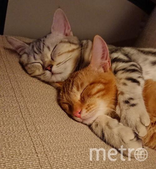 Это наши котики-рыжий метис Силя и шотландец Винс. Они такие разные, но всегда вместе ....СПЯТ. Фото Ольга