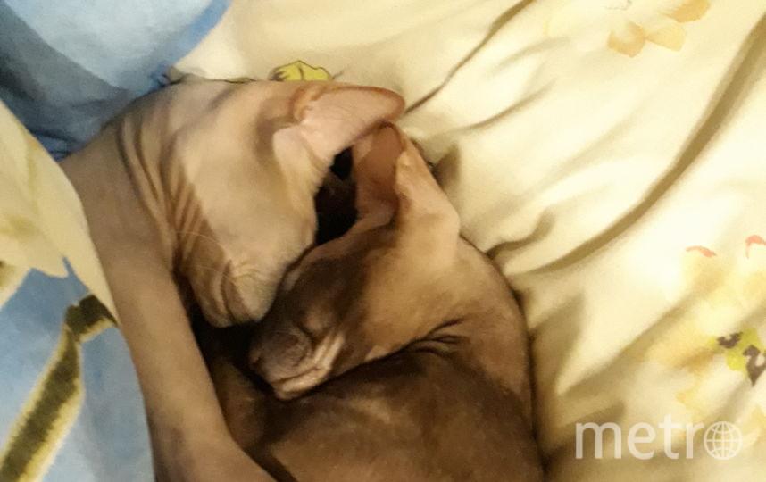 Наши любимки Дульсинея и Бенджамин, ооочень любят покушать и сладко поспать. Фото Алла