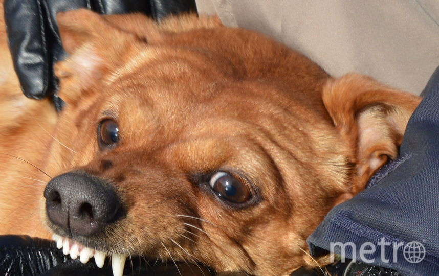 Нашу семейную звезду зовут Стрелочка.Она страшно- страшно добрая собака. Фото Елена