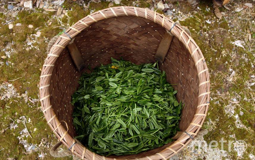 Сбор чая. Фото Getty