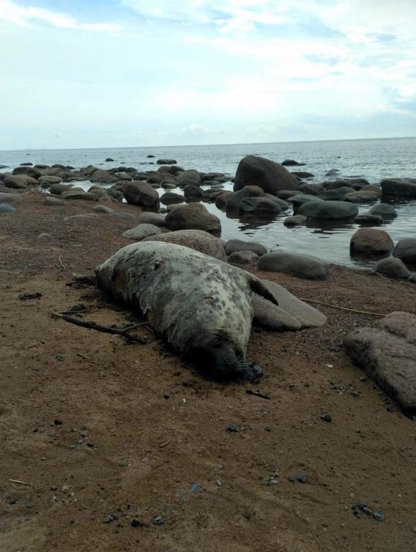 На берегах Финского залива массово появляются туши погибших тюленей. Фото https://vk.com/sealrescue