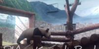 Милое видео с пандами из Китая, которых подарили Московскому зоопарку, покоряет Сеть