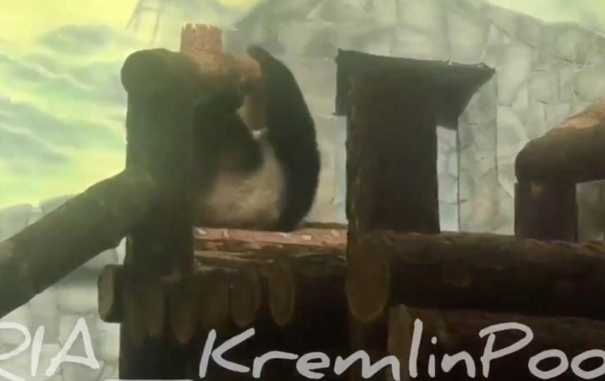 Панды в новых вольерах. Фото скриншот https://twitter.com/Kremlinpool_RIA