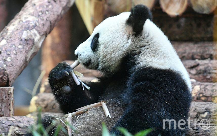 Торжественная церемония передачи панд состоялась 5 июня. Фото AFP