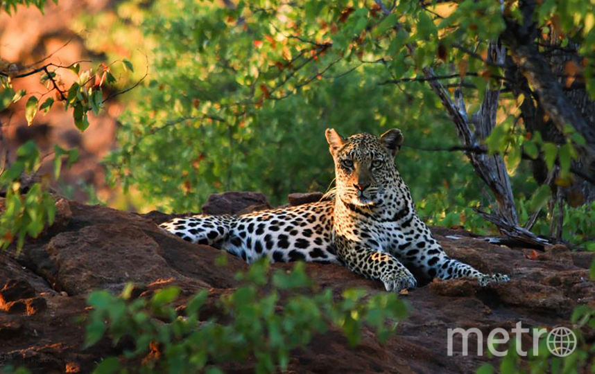 Леопард. Фото AFP