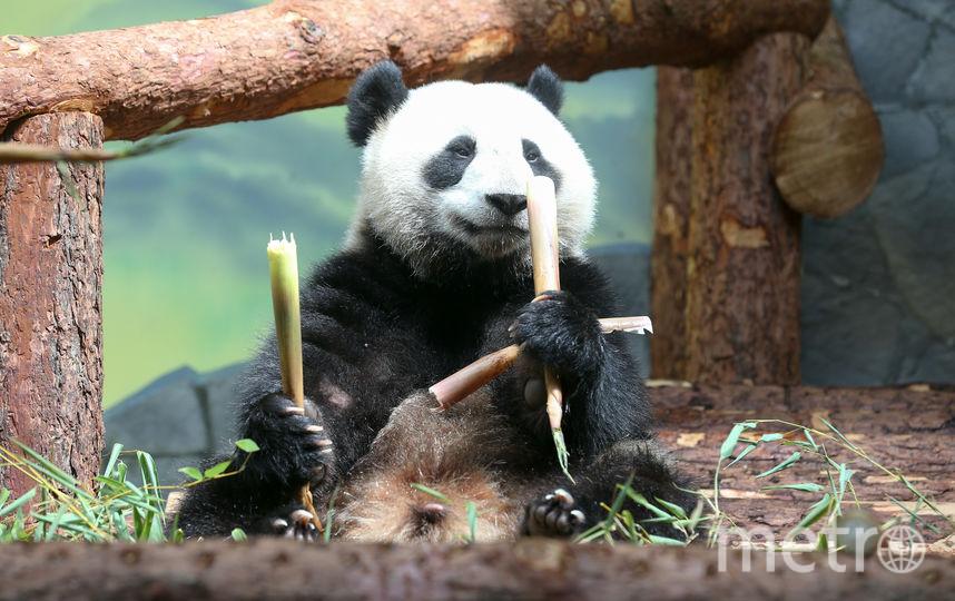 Торжественная церемония передачи панд состоялась 5 июня. Фото Василий Кузьмичёнок