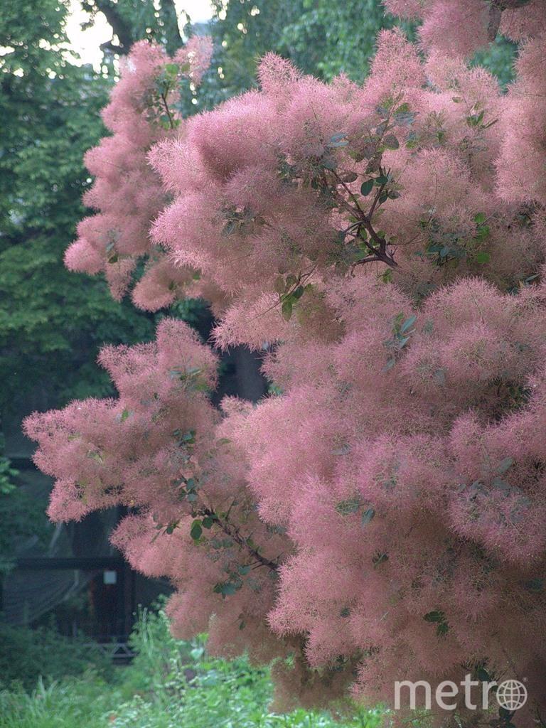 Розовое Дымное дерево. Фото Предоставлено пресс-службой Ботанического сада МГУ.