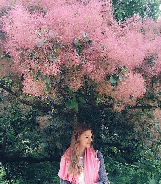 Розовое Дымное дерево. Фото скриншот: instagram.com/hortus_ru/