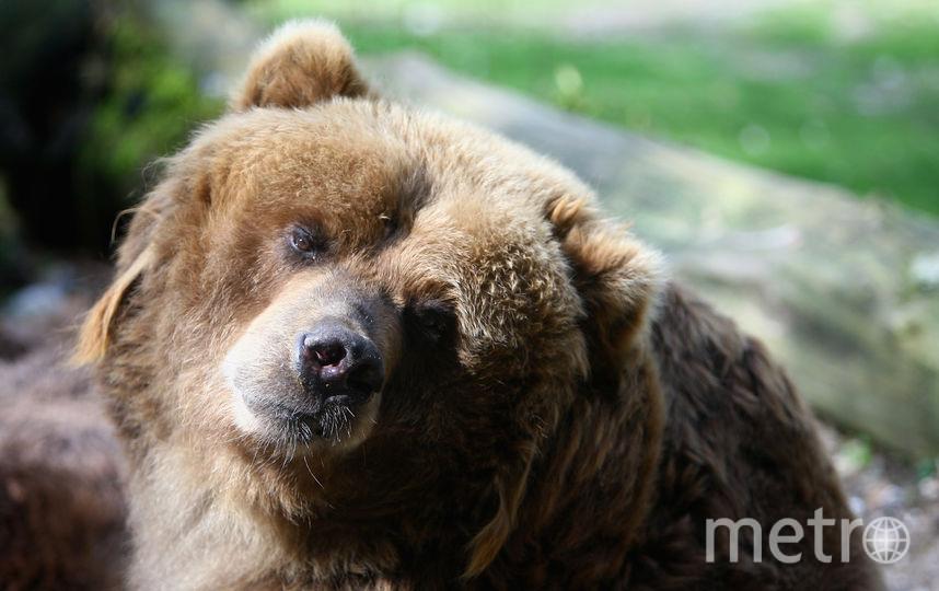 Мужчина выжил после встречи с медведем. Фото Getty