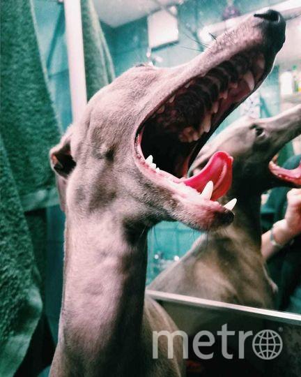 Собаку породы левретка зовут Фаруня. Очень тоненькая. ласковая собака, но иногда выглядит устрашающе. Фото Ирина