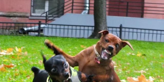 Мою золотую девочку породы цвергпинчер зовут Хани. Характер у неё нежнейший и ласковый, но на фото она выглядит самой настоящей собакой Баскервилей! Особенно когда гуляет со своим другом цвергпинчером по кличке Люк!