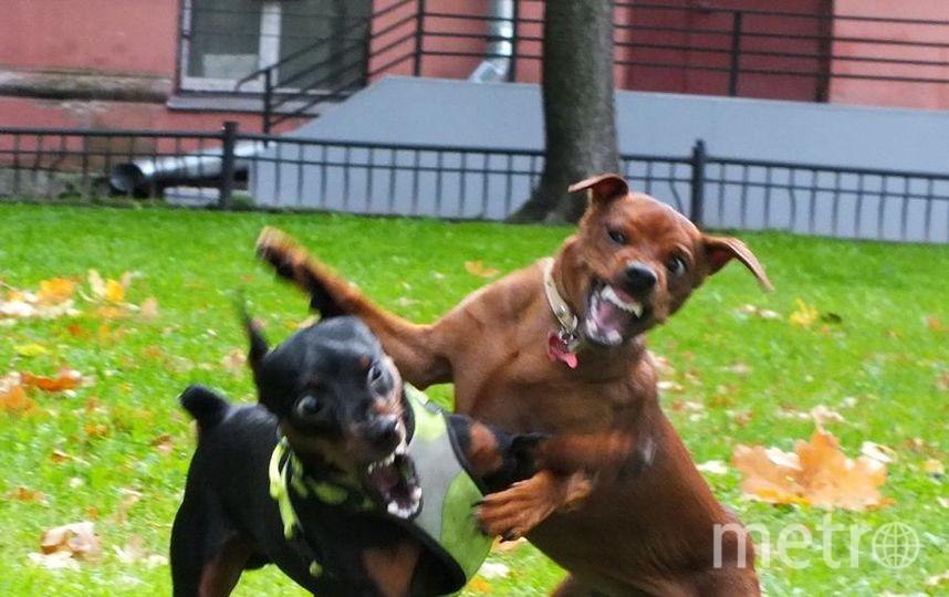"""Мою золотую девочку породы цвергпинчер зовут Хани. Характер у неё нежнейший и ласковый, но на фото она выглядит самой настоящей собакой Баскервилей! Особенно когда гуляет со своим другом цвергпинчером по кличке Люк! Фото """"Metro"""""""