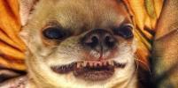 Собаки-улыбаки: милейшие фото