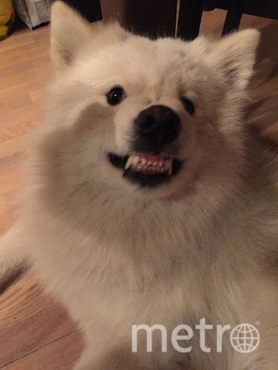 """Даже самую добрую собаку можно довести до баскервилизма. Наш любимый пёс самоедской породы по кличке Кошка. Фото Ирина, """"Metro"""""""