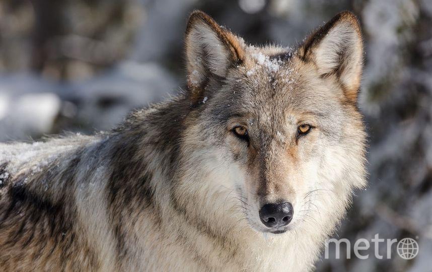 В Сибири обнаружили отрубленную волчью голову, сохранившуюся в вечной мерзлоте вместе с зубами, шерстью и мягкими тканями. Фото pixabay.com